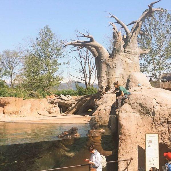 Bioparco Zoom Torino – Gli Ippopotami #conoscereperconservare