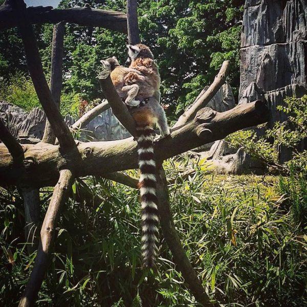 Bioparco Zoom Torino – I Lemuri #conoscereperconservare