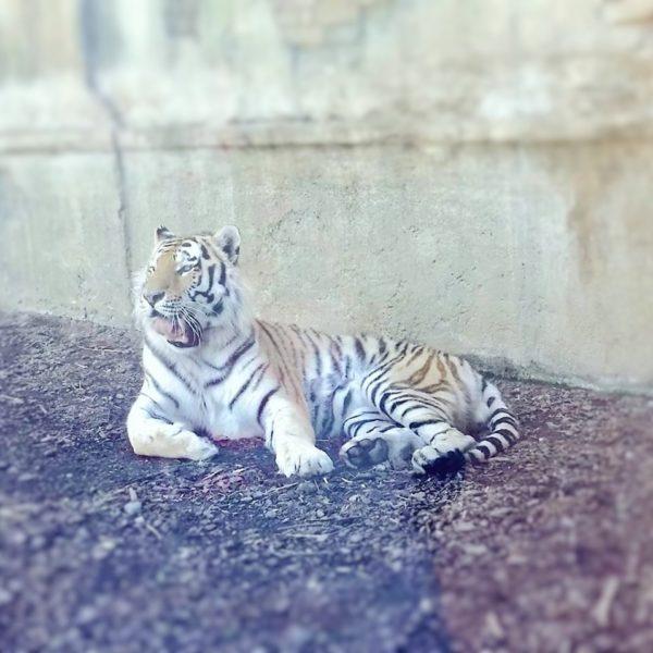 Bioparco Zoom Torino – La Tigre #conoscereperconservare