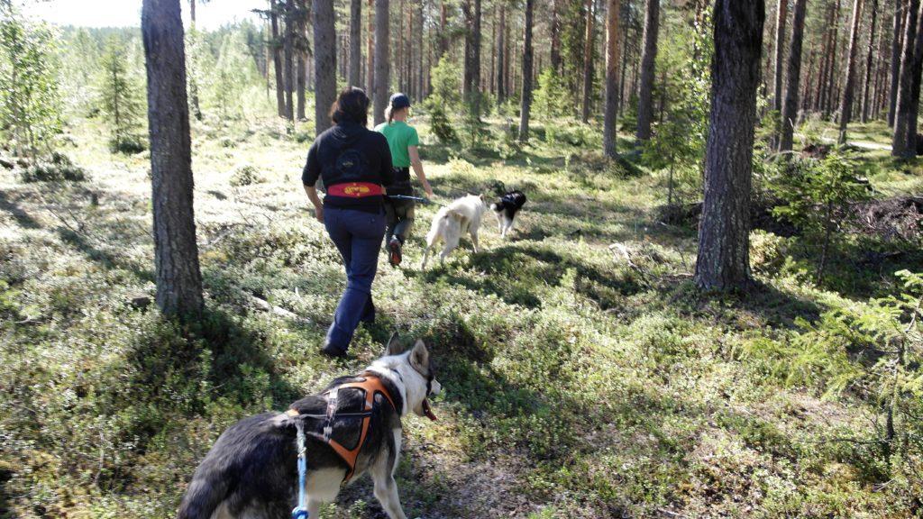 Turismo Lento - Svezia 2016 passeggiata estiva con i cani da slitta